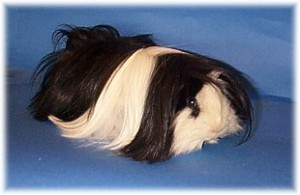 A long haired cavy
