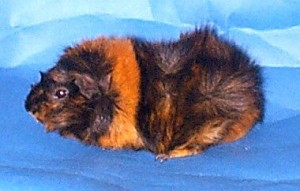 An Abyssinian Breed Cavy