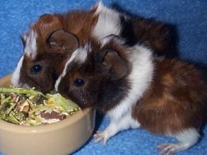 Baby cavies feeding