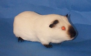 A Himalayan Breed Cavy