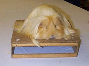 Long Haired Cavy
