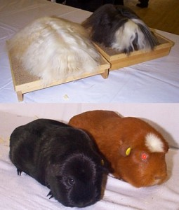 Cavies on the showbench