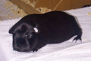 (Photos on this website are of healthy cavies and are not intended to illustrate the condition referred to.)