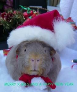 Xmas guinea pig